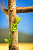 Grön knopp — Stockfoto