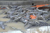 An Giang, Vietnam - September 12, 2013: Crocodiles are grown for meats, skins and for entertaining travelers and tourists in a farm in An Giang, a province in the Mekong delta of Vietnam — Stock Photo