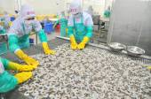 Phan Rang, Vietnam - December 29, 2014: Workers are arranging shrimps in a line to the freezing machine in a seafood factory in Vietnam — Stock Photo