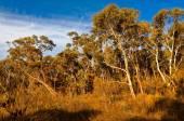 Eucalyptus trees in the Australian bush — Stock Photo