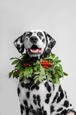 Dalmatian dog in a necklace of mountain ash — Stock Photo