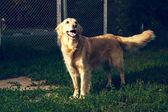 Golden retriever dog — Stock Photo