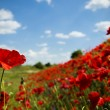 Flowering red poppies field on the hillside — Stock Photo #74243843