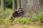 Raccoon dog in the wood — Stock Photo