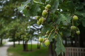 Acorns on a branch — Stock Photo