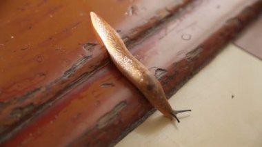 Slakken kruipen op de grond in het huis — Stockvideo