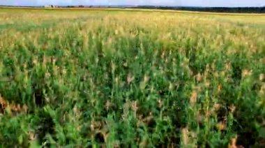 Vlucht naar Quadrocopters Over een gebied van maïs — Stockvideo