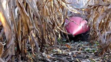 Combine-harvester working in corn field — Stock Video
