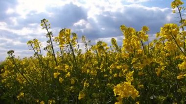 Rapeseed field in a sunny  day — Stock Video