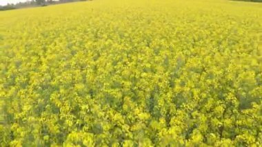 Yellow rapeseed blooming field — Stockvideo