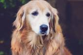 Close up golden retriever with vintage color effect — Стоковое фото