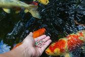Feeding koi by hand — Stock Photo
