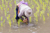 Thai farmer growing rice in Northern of Thailand — Stock Photo