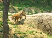 Tigre blanco en el zoológico — Foto de Stock