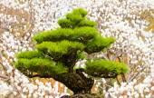 Bonsai tree on white magnolia background — Stock Photo
