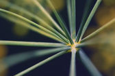 Abstract inflorescence dill close-up — Stock Photo