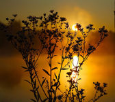 Wild daisies in backlit at dawn — Stock Photo