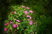 Ломонос фиолетовый на обручи — Стоковое фото