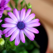 Beautiful purple daisies with space for text — Stock Photo #75720587