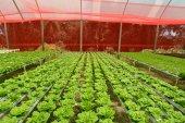 Greens Hydroponic Farm — ストック写真