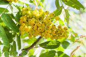 Yellow rowan — Stock Photo