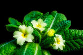 Primrose - Primula vulgaris, messenger of spring. The primrose is one of the earliest spring flowers. Artistic intent soft focus — Stock Photo
