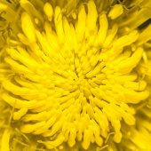 Taraxacum officinale, common dandelion — Stock Photo