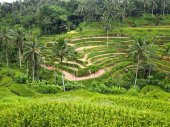 Rice terraces, green terraces, Bali Indonesia — Foto Stock