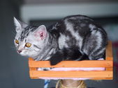 Blurred American Short Hairs cat with bokeh background — Stock Photo