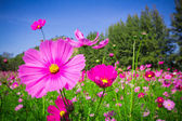 Cosmos flowers mid Central courtyard A beautiful and blue sky — Foto de Stock