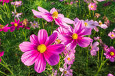 Cosmos flowers mid Central courtyard A beautiful and blue sky — Stock Photo
