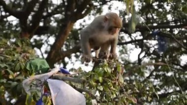 Playing macaque monkey in the jungle. Nepal — Stock Video