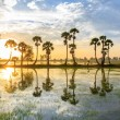 Palmyra tree on the paddy field in early morning. Mekong Delta, Chau Doc, An Giang, Vietnam — Stock Photo #70305273