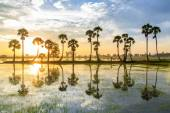 Palmyra tree on the paddy field in early morning. Mekong Delta, Chau Doc, An Giang, Vietnam — Stock Photo