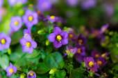 Flower in Da Lat, Vietnam — Stock Photo