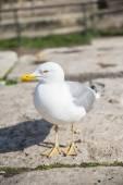 Herring Gull. Larus Argentatus — 图库照片