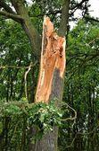 损坏的树. — 图库照片