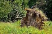 Uprooted tree lying on grass. — Stock Photo