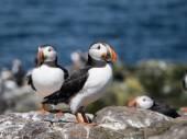 Farne Island Puffins — Stock Photo