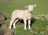 Cute Spring Lambs, West Yorkshire — Foto Stock