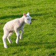 Gambolling lamb — Stock Photo #70940043