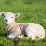 Spring Lamb lying in field in evening sun — Stock Photo #70941037