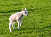 Gambolling lamb — Stock Photo