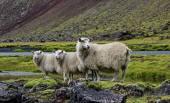 Sheep on lava field, Eldgja, Iceland — Stock Photo