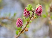 Young pink cones of pine — Foto de Stock