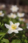 Anemone, white spring flowers in the forest — Stock Photo