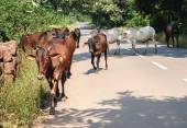 Indian Cows on the road — Stock Photo
