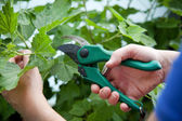 Woman with hand pruners in her hand — Stock Photo