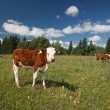 Calf on green grass and cows near the forest — Stock Photo #70726973