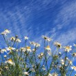 Wildflowers white daisies against a blue sky — Stock Photo #80064662